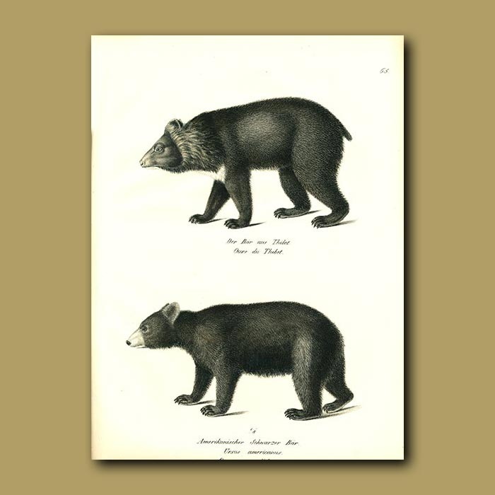 Antique print. Tibetan Bear and American Black Bear