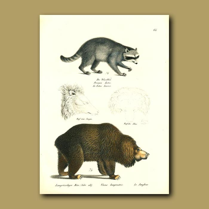 Antique print. Raccoon and Long-nosed Bear