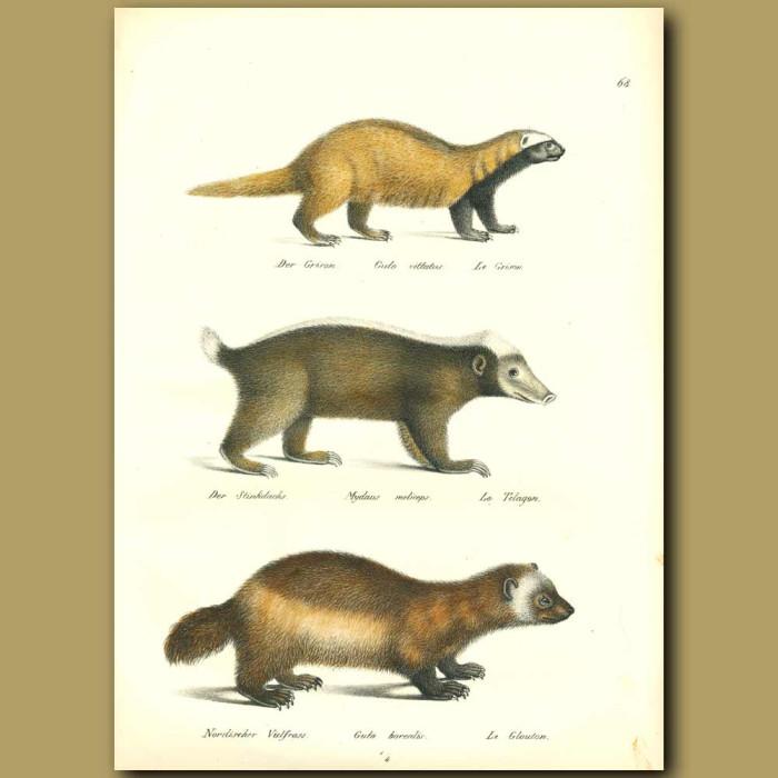 Antique print. Wolverine, Stink Badger
