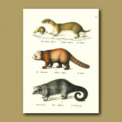 Weasel, Red Panda And Binturong
