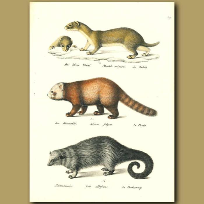 Antique print. Weasel, Red Panda and Binturong