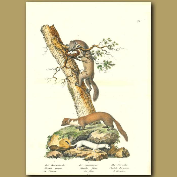 Antique print. Pine Marten, Mink and Ermine