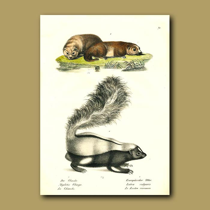 Antique print. Otters and Skunk