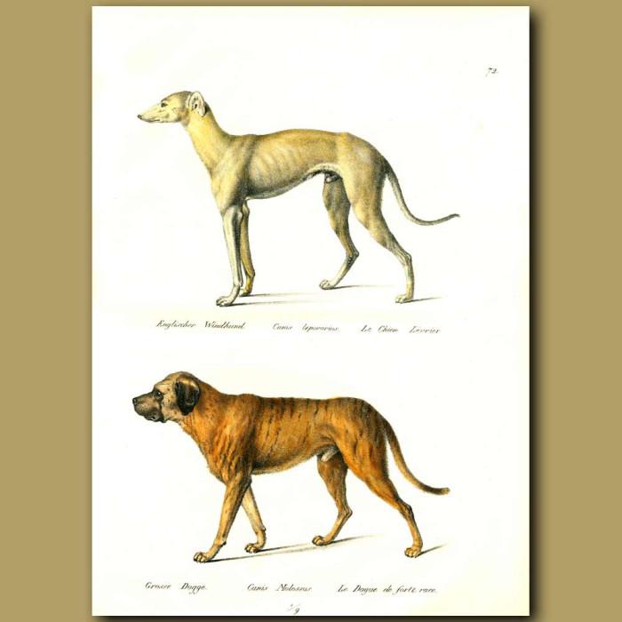 Antique print. English Greyhound and Mastiff