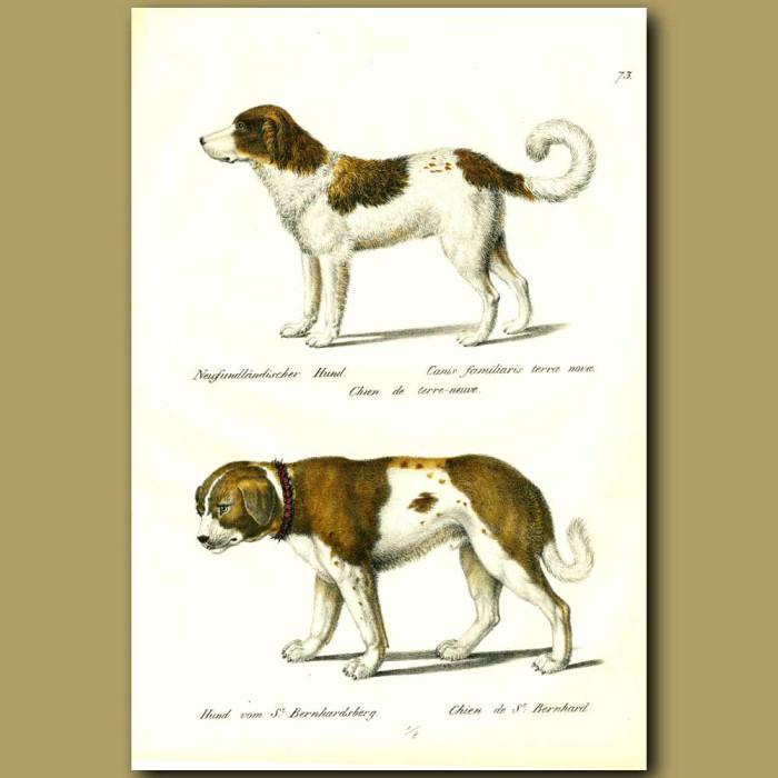Antique print. Newfoundland dog and St.Bernard Dog