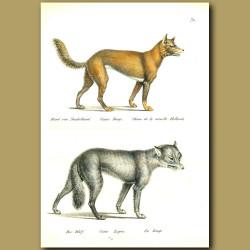 Dingo And Wolf