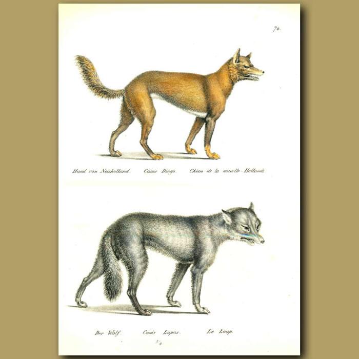 Antique print. Dingo and Wolf