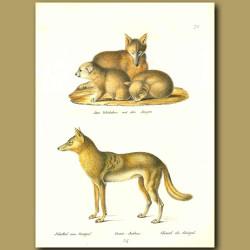 Fox, Cubs And Jackal