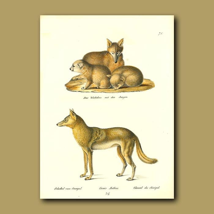 Antique print. Fox and cubs and Senegalese Jackal