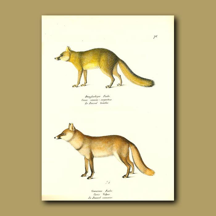 Antique print. Grey Fox and Red Fox