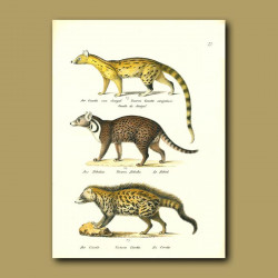 Small Spotted Genet, Indian Civet And African Civet