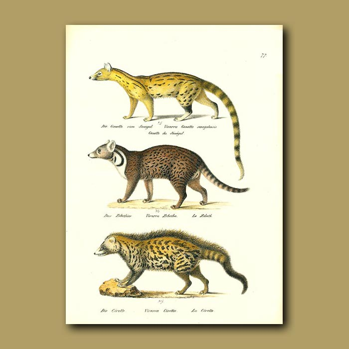 Antique print. Small Spotted Genet, Indian Civet and African Civet