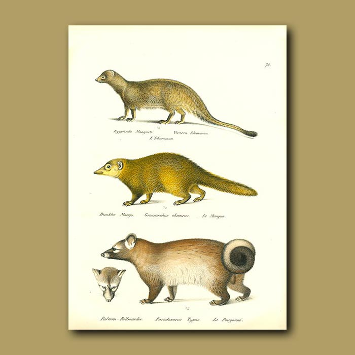 Antique print. Egyptian Mongoose, Long-nosed Kusimanse and Palm Cat