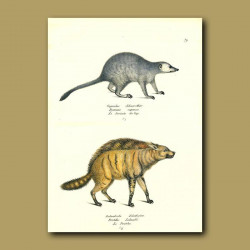 Meerkat And Hyaena
