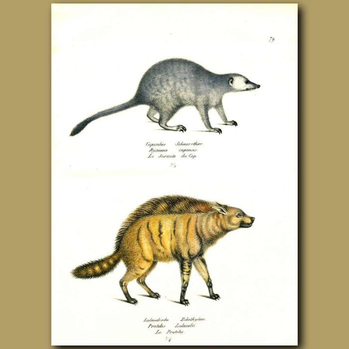 Antique print. Meerkat and Hyaena