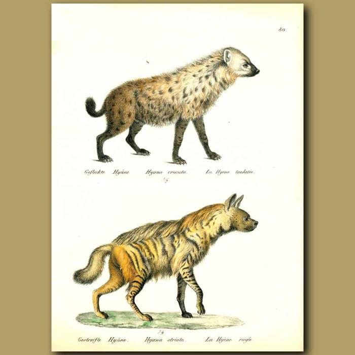 Antique print. Hyaenas