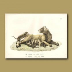 Lioness And Lion Cubs