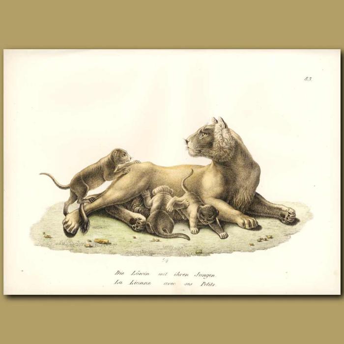 Antique print. Lioness and lion cubs