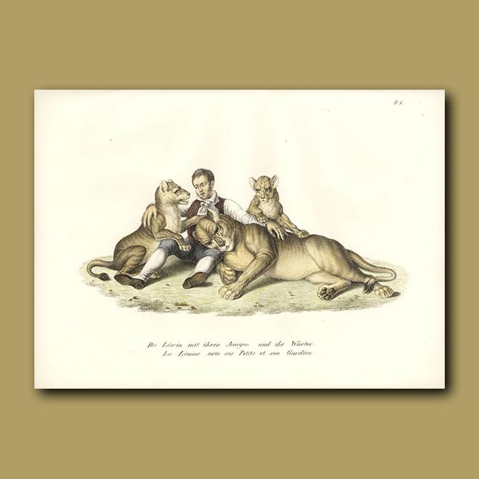 Antique print. Lioness, lion cubs and keeper
