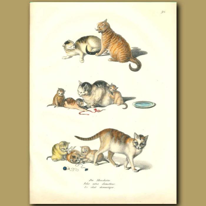 Antique print. Domestic cats
