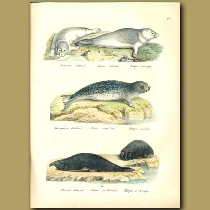 Antique print. Harbour Seals and Elephant Seals