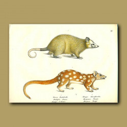 Opposum And Tiger Quoll