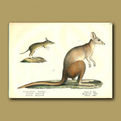 Western-Barred Bandicoot And Kangaroo