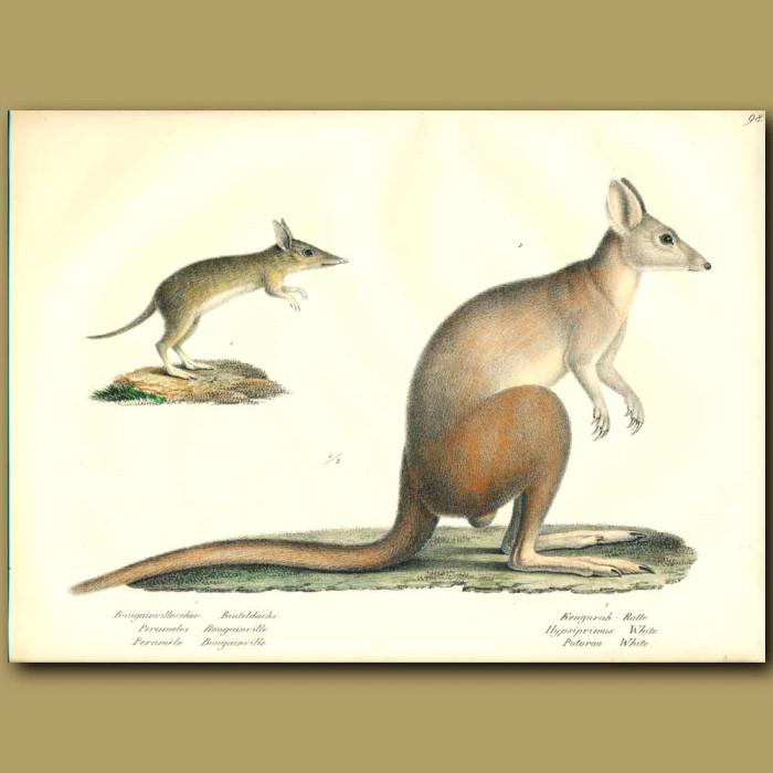Antique print. Western-barred Bandicoot and Kangaroo