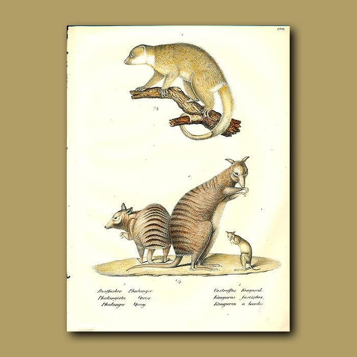 Antique print. Banded Wallaby and Quoy