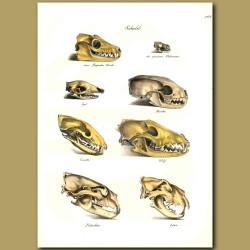 Skulls Of Wolf, Polar Bear And Lion