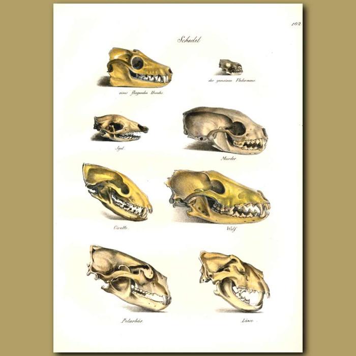 Antique print. Skulls of Wolf, Polar Bear and Lion