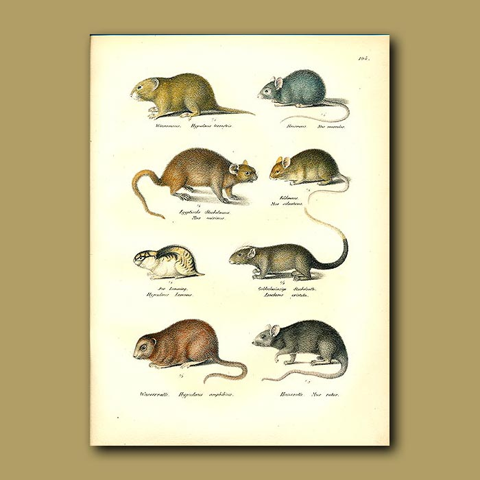 Antique print. Mice and Rats