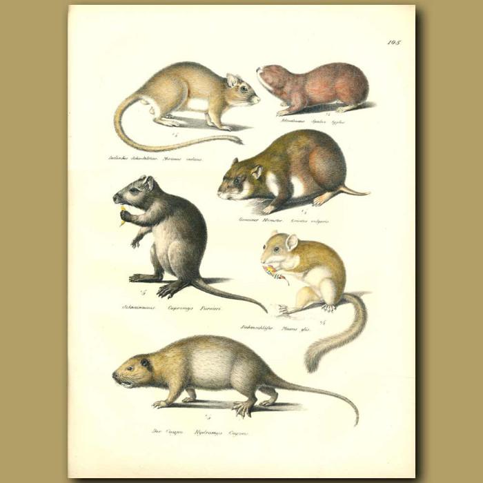 Antique print. Hamster, Dormouse, Blind Mole and Coypu