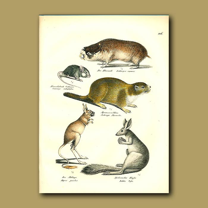 Antique print. Rat-mole, Spiny Mouse, Marmot, Three-toped Jerboa and Spring Hare