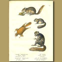 Eastern Chipmunk, Siberian Flying Squirrel, Flying Squirrel And Madagascan Lemur