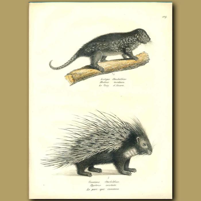 Antique print. Porcupine