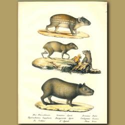Capybara, Agouti And Paca