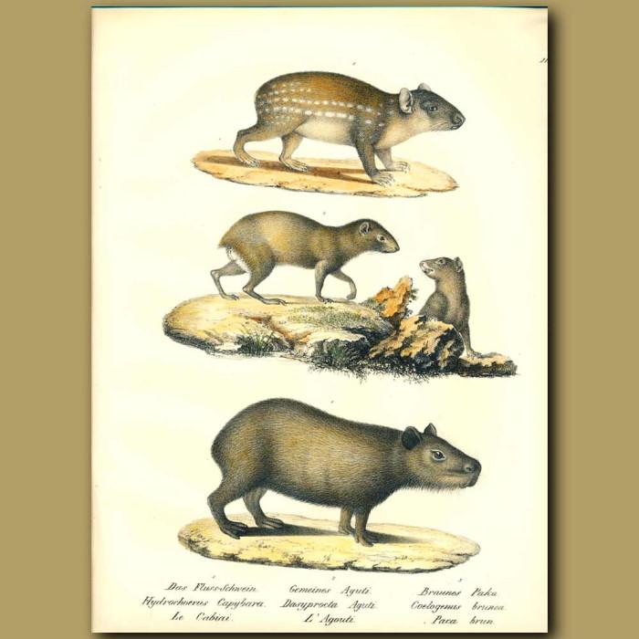 Antique print. Capybara, Agouti and Paca