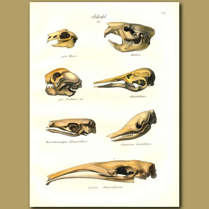 Antique print. Skulls