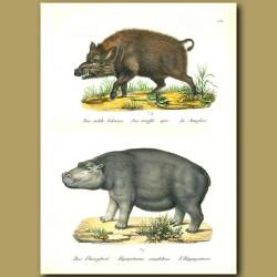 Hippopotamus And Wild Boar