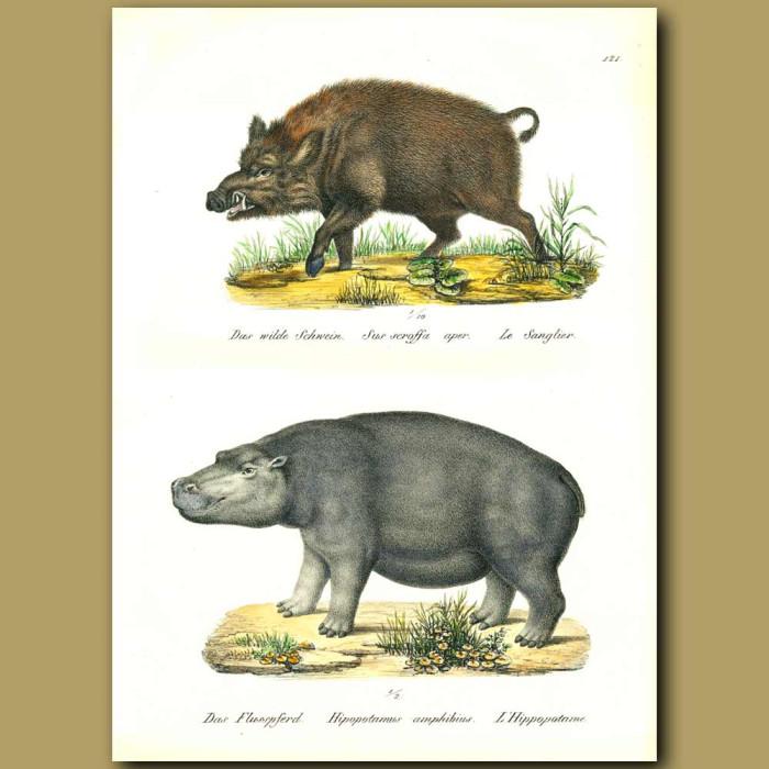 Antique print. Hippopotamus and Wild Boar