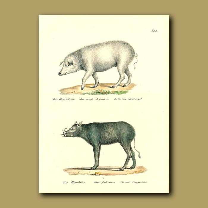 Antique print. Domestic Pig and Babyroussa