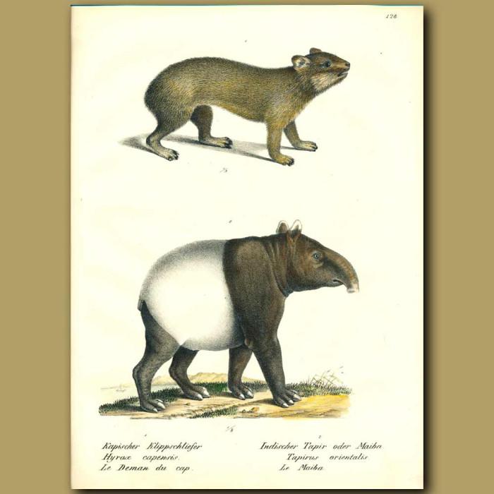 Antique print. Rock Hyrax and Tapir