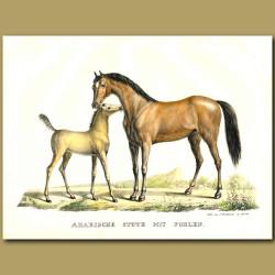 Arabian Horse With Foal