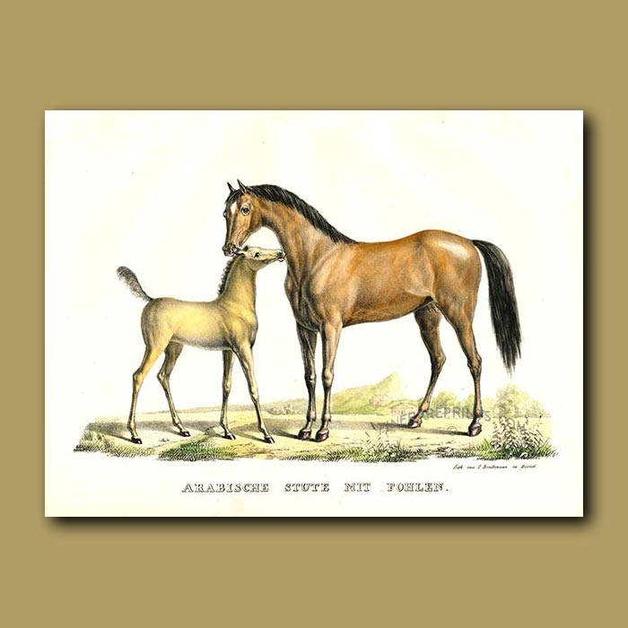 Antique print. Arabian Horse With Foal