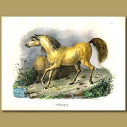 Turk Golden Horse