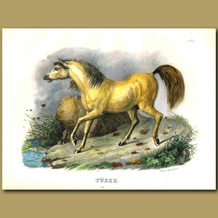 Antique print. Turk Golden Horse