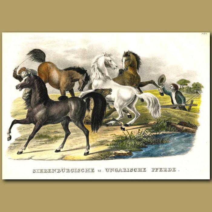 Antique print. Wild Horses