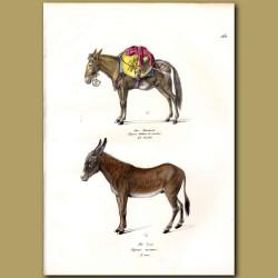 Donkey Or Mule