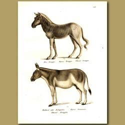 Quagga (an Extinct Species Of Zebra) And Burro